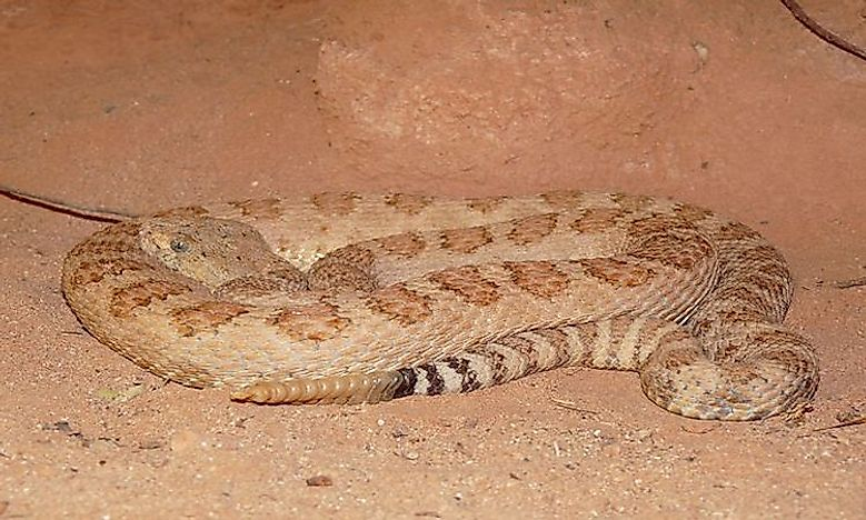 #2 Grand Canyon Rattlesnakes