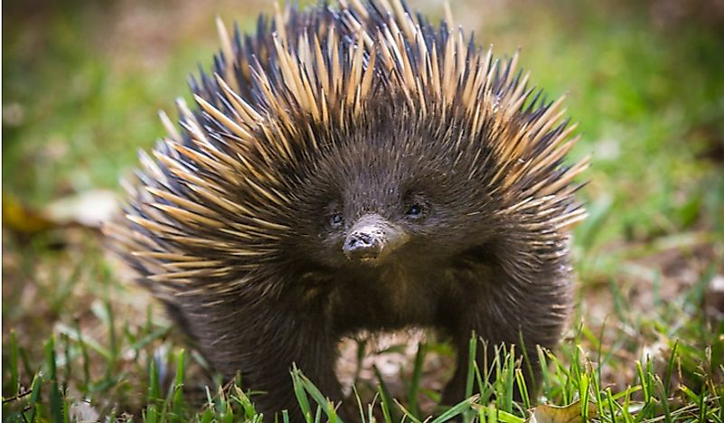 Where do Echidnas Live?