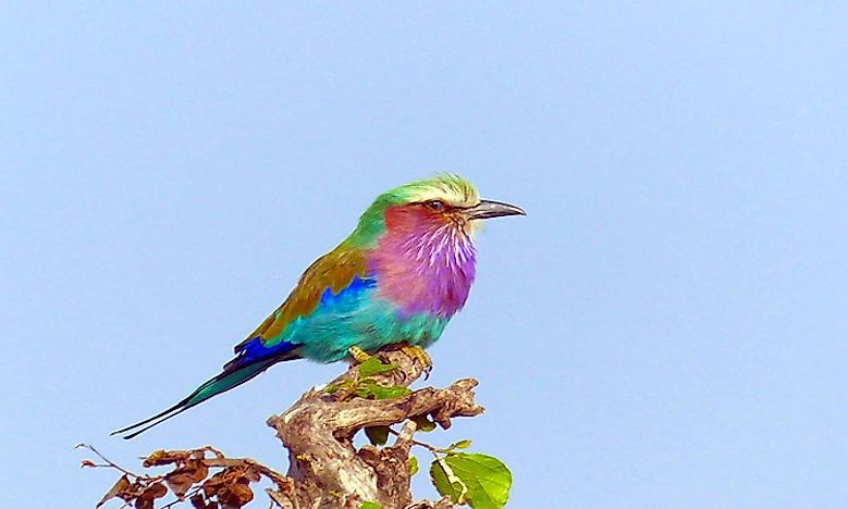 #6 Lilac-breasted Roller  -