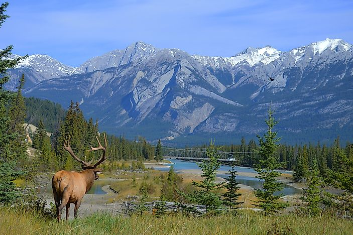 What are the Differences Between Moose and Elk?