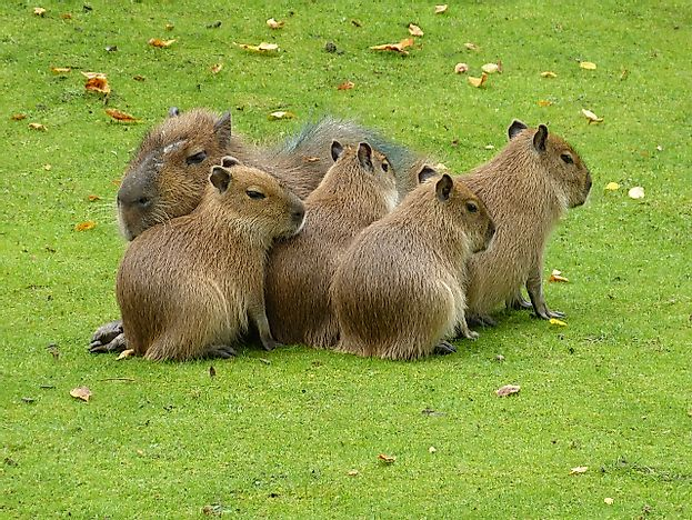 Capybara Facts: Animals of South America
