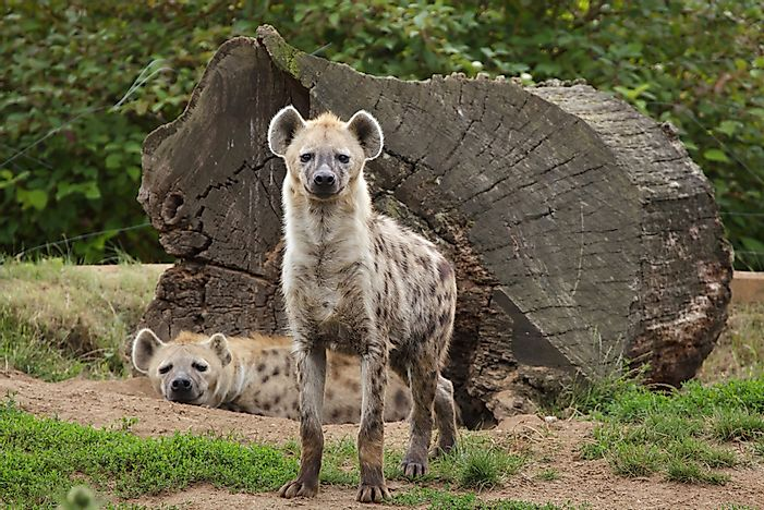 Hyena Facts - Animals of the World