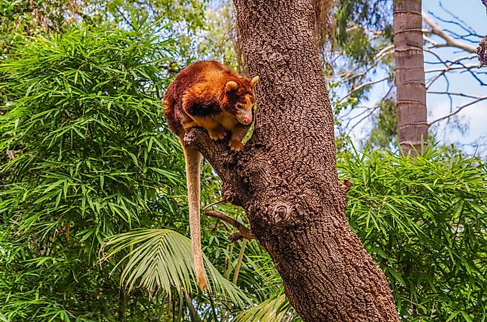 Tree-Kangaroo Facts: Animals of Oceania