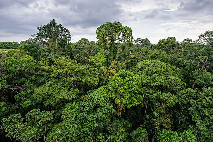 Trees in the Amazon Rainforest of Peru.