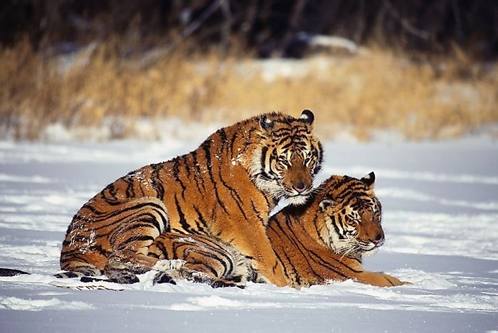 Are Wild Tiger Numbers Increasing?