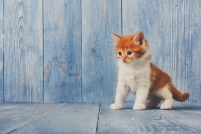 The Six Species Of Cats Of The Felis Genus - WorldAtlas.com