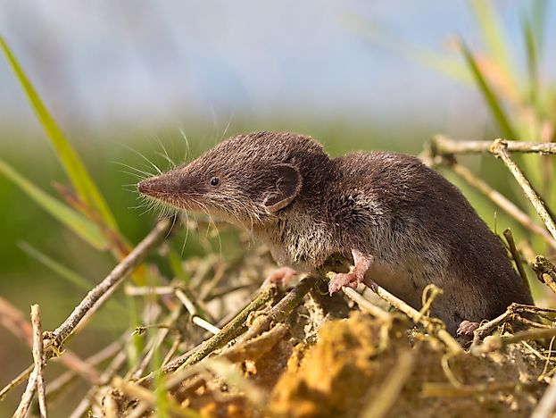 #7 Bicolored Shrew