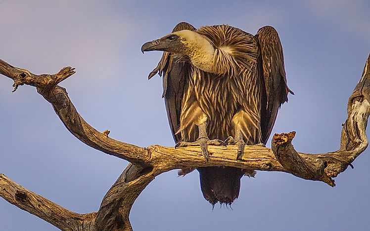 #8 White-backed vulture