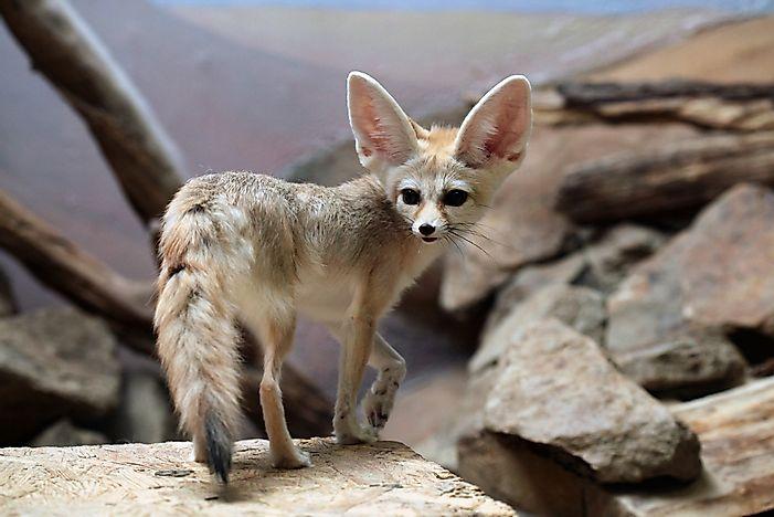 The twelve species of true foxes - Pagina da colorare fennec fox ...