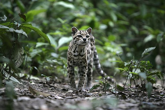The 10 Species Of Wild Cats Of South America