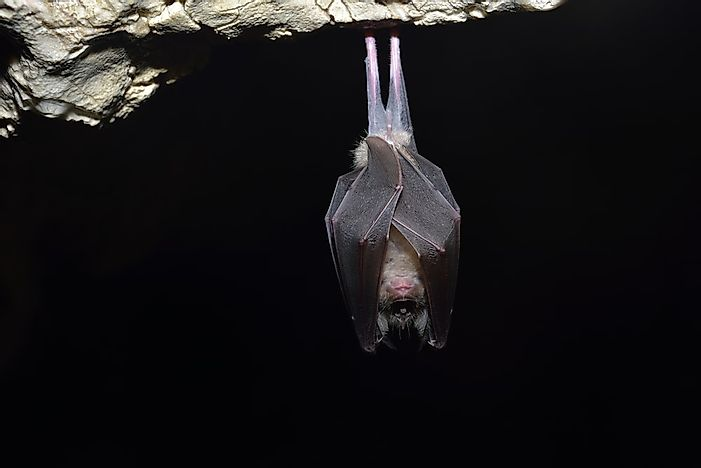 #8 Greater Horseshoe Bat