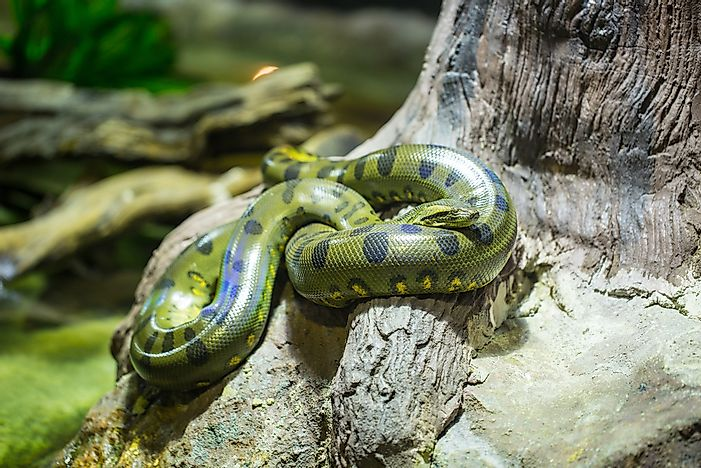 A green anaconda in the Amazon jungle.