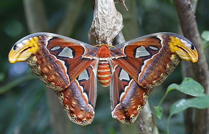 Atlas Moth Facts - Animals of Southeast Asia