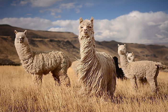Alpaca in the Andes mountains.