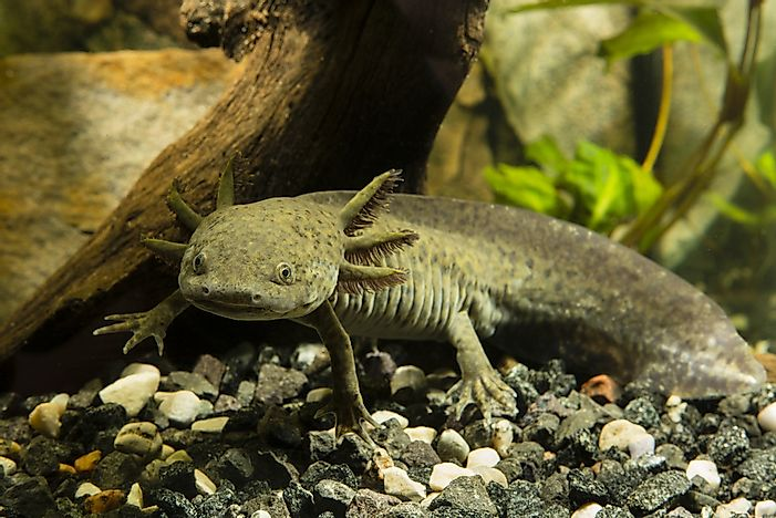 Axolotl Facts - Animals of South America