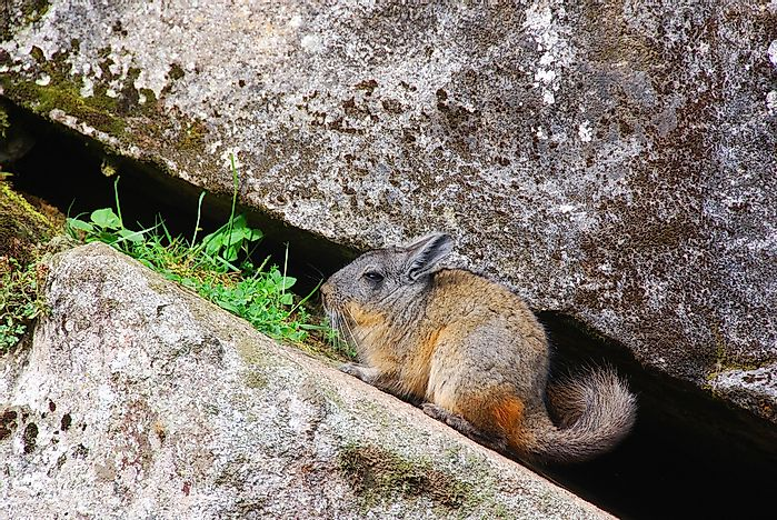 A chinchilla in the Andes mountains.