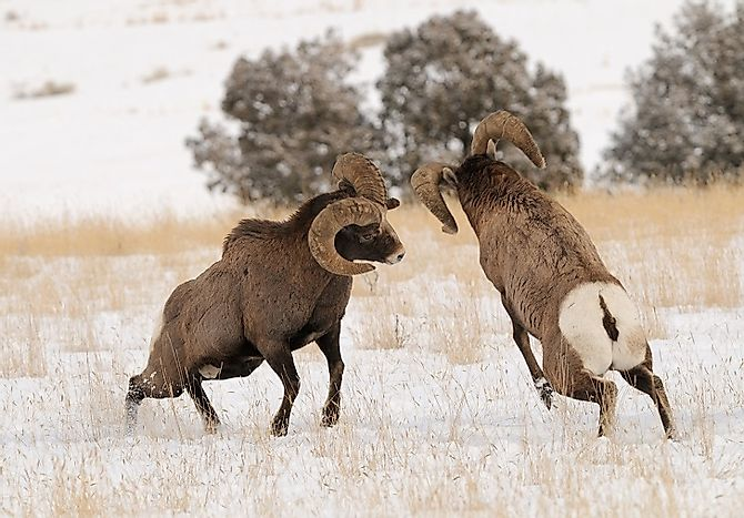 Bighorn Sheep Facts: Animals of North America