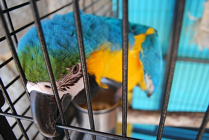 Parrot Varieties Most Threatened By Illegal Live Trafficking
