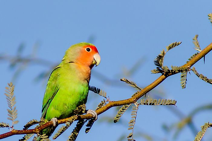 #4 Peach-faced Lovebird