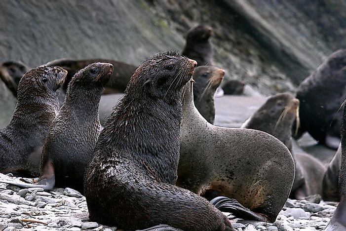 #9 Northern Fur Seal