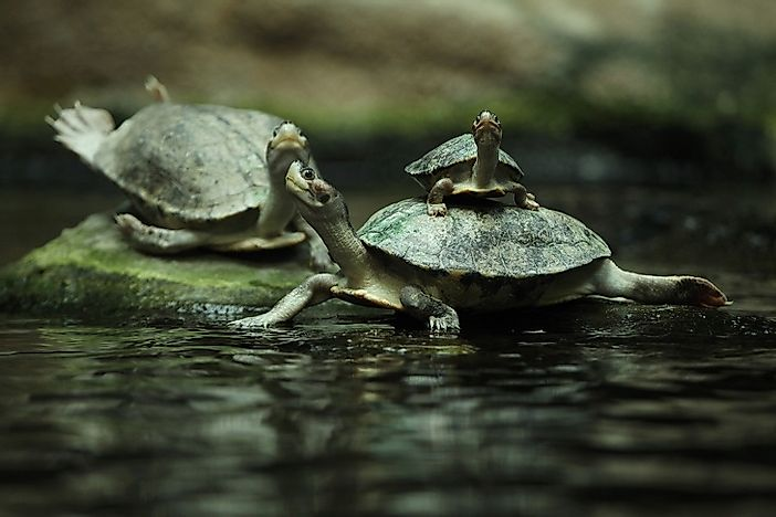 Will Cambodia's Royal Turtle Go Extinct?
