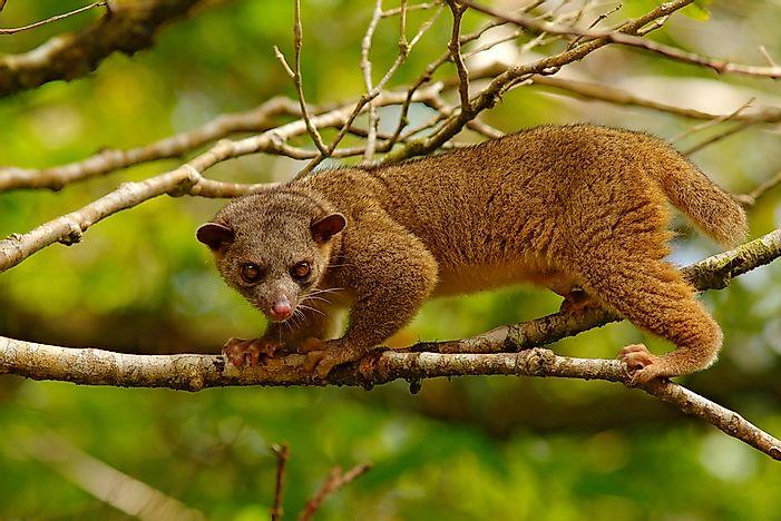 amazon rainforest plants and animals. kinkajou amazon rainforest plants and animals