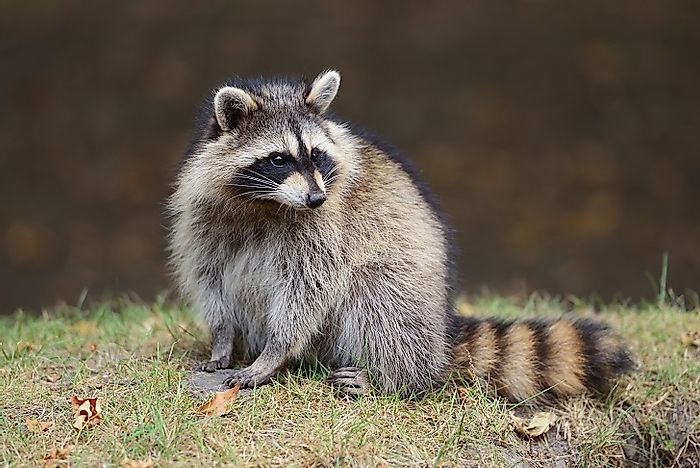 #2 Raccoon