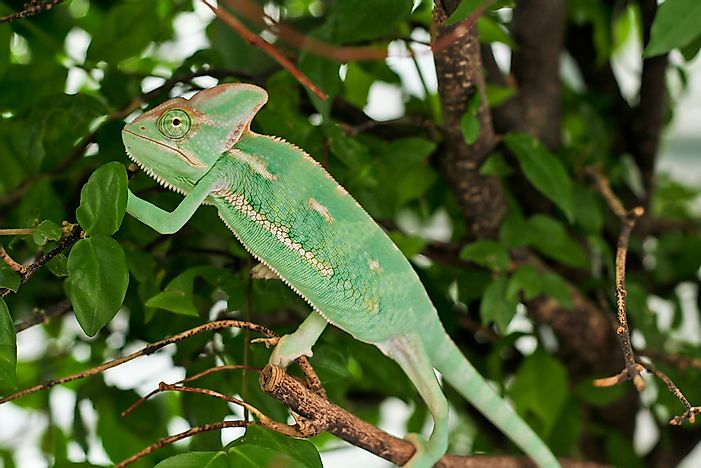 A Veiled Chameleon employs active camouflage to resemble its surroundings.