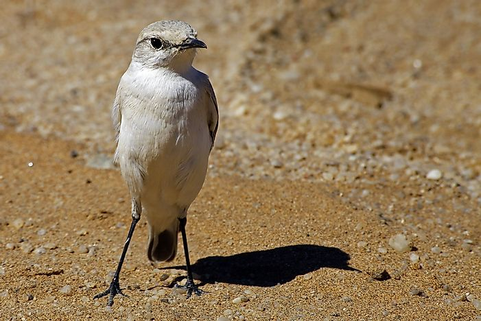 Native Birds Of Namibia