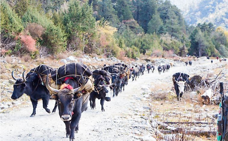 A trail of yaks along the Merak-Sakteng trail in Bhutan.