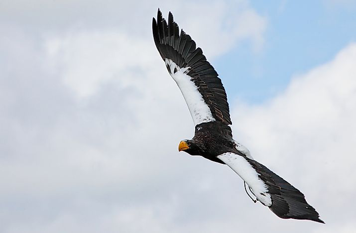 #2 Steller's Sea Eagle, 250 cm (98.4 inches)