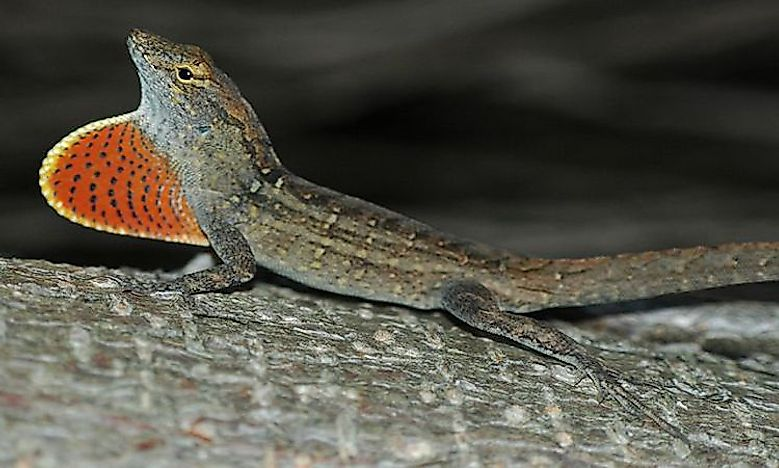 #4 Brown Anole -