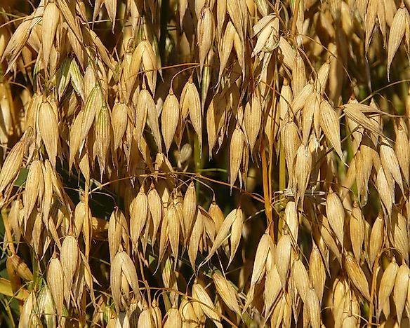 The Top Oat Producing Nations In The World
