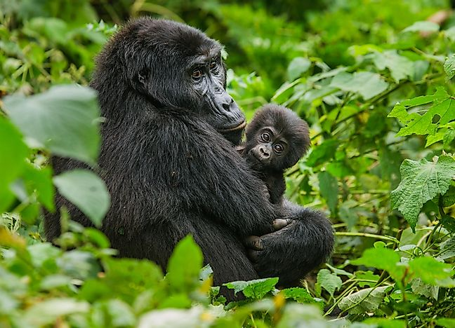 Mountain gorillas in Mgahinga National Park.