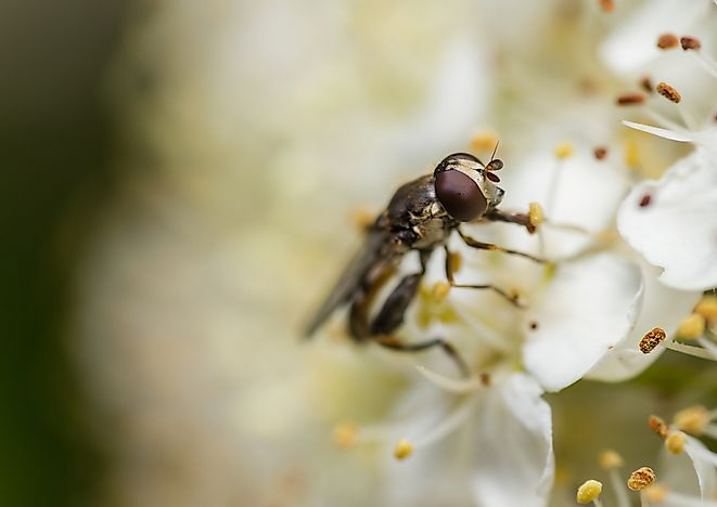 The hoverfly avoids detection by flying in a swaying motion similar to the surrounding flora.