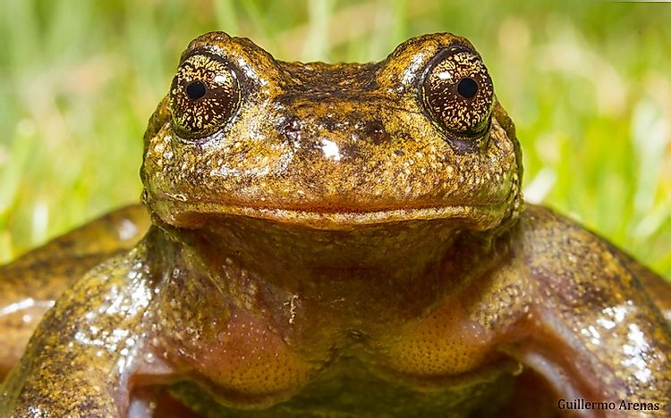 Native Amphibians Of Chile