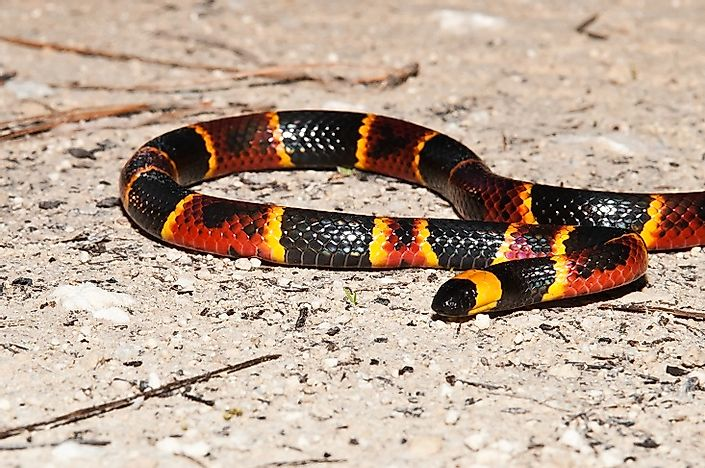 #4 Eastern Coral Snake