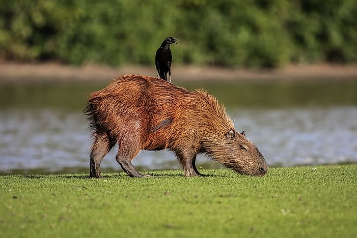 #6 Other animals love to use the capybara as a chair.