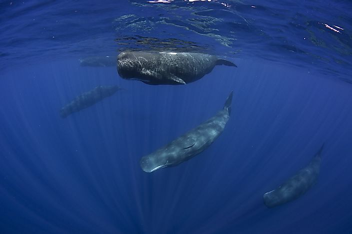 How Many Types Of Sperm Whales Live In The World Today?