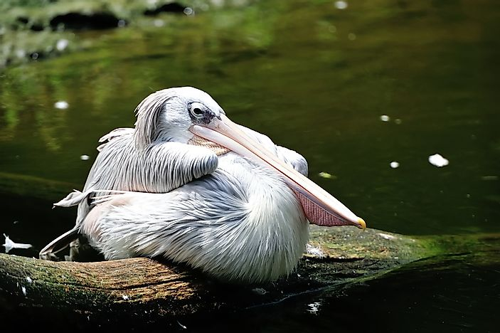 A pink-backed pelican.
