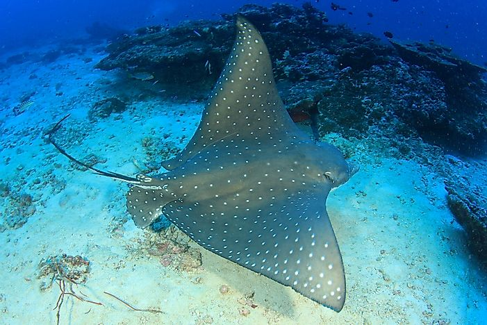 Image of: Theinternetvshollywood 12 Spotted Eagle Ray World Atlas What Animals Live In The Atlantic Ocean Worldatlascom