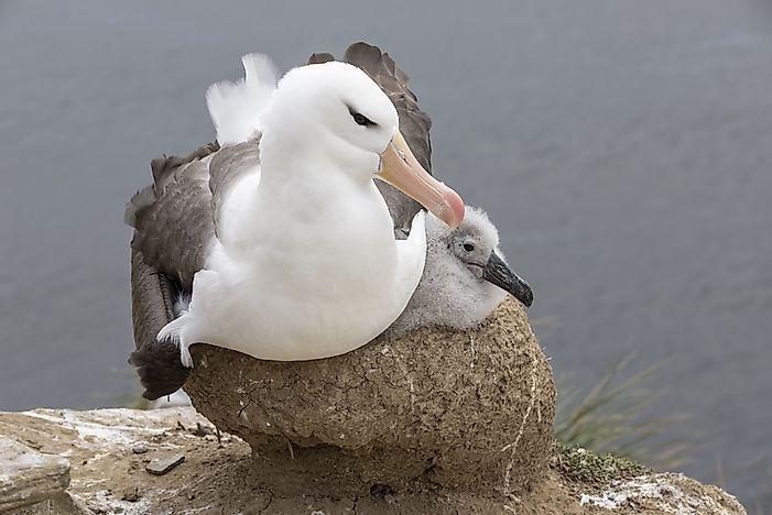 Wandering Albatross Facts