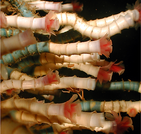 #7 Tube Worms