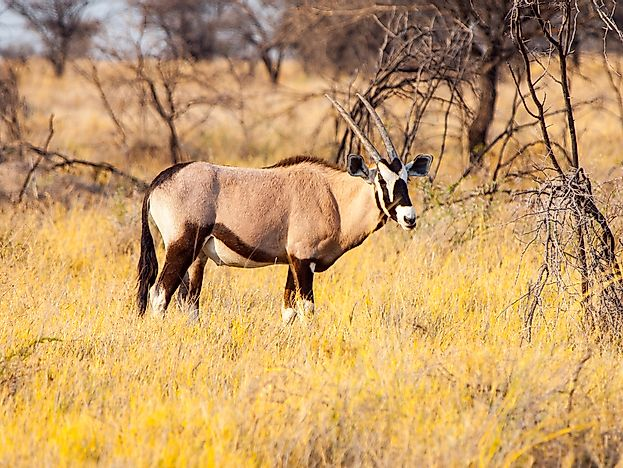 Animals That Live in the Namib Desert - WorldAtlas com