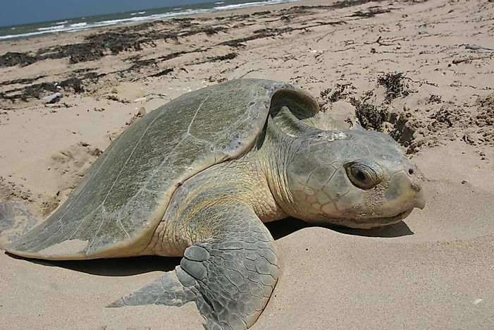 #4 Kemp's Ridley Sea Turtle