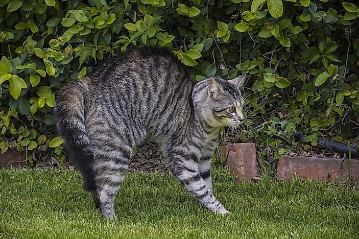 A puffy tail is a cat's way of trying to appear larger than it is.