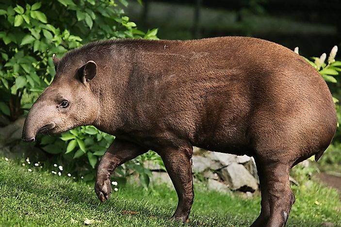 south american tapirs are mostly found in the forest regions of central and southern america especially in the andes mountains of peru