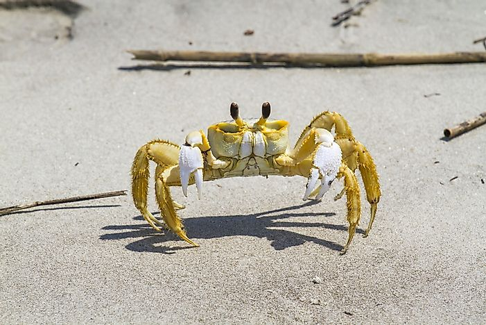 #15 Ghost Crab