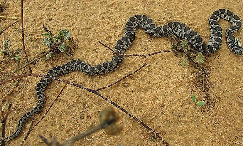 Native Reptiles Of Algeria