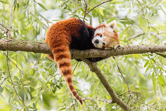 Image of: Zoo What Are The Biggest Threats To The Endangered Red Panda World Atlas What Are The Biggest Threats To The Endangered Red Panda